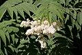 Sorbaria sorbifolia - fleurs-3.jpg