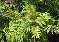 Sorbaria sorbifolia kz05.jpg