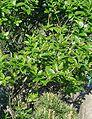 Sorbus-chamaemespilus-habit.JPG