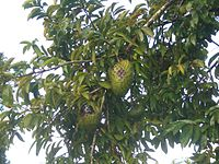 Soursop-tree-1481.jpg