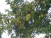 Soursop-tree-1481.jpg