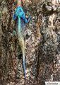 Southern Tree Agama Kruger Park.jpg