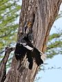 Southern Yellow-billed Hornbill, Tockus leucomelas, at Elephant Sands Lodge, Botswana (31908981410).jpg