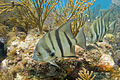 Spadefish Biscayne.jpg