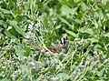 Sparrow white-crowned 01.JPG