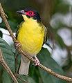 Sphecotheres vieilloti -Cairns, Queensland, Australia -male-8.jpg