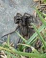 Spider (Araneae) - Witless Bay, Newfoundland 2019-08-12 (02).jpg