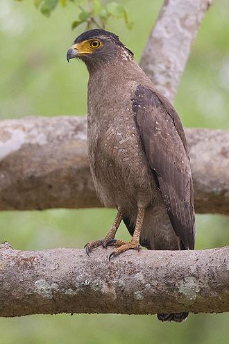 Crested serpent eagle - Adult (ssp. melanotis, Bandipur National Park, India)