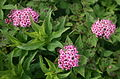 Spiraea japonica in Mount Ibuki 2010-07-10.jpg