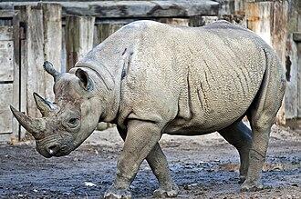 Black rhinoceros - Black rhinoceros at Zoo Leipzig