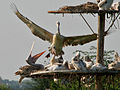 Spot-billed Pelican (Pelecanus philippensis) coming with feed W IMG 7275.jpg