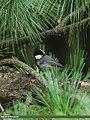 Spot-winged Tit (Periparus melanolophus) (15870625556).jpg