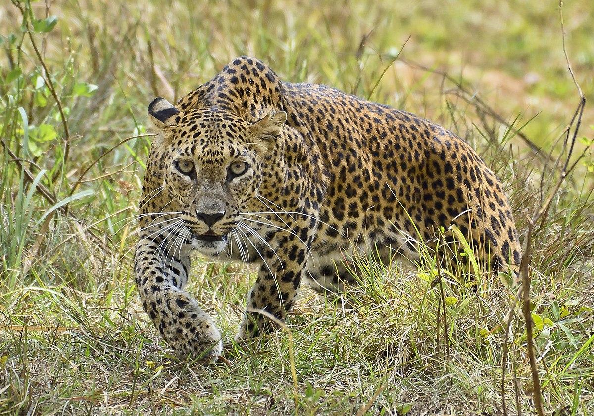 Sri Lanka Leopard – Wikipedia