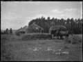 Stacking hay into thatched circular haystacks at Mendip Hills sheep farm, Hurunui District. ATLIB 284076.png