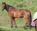 Standardbred Hunter.jpg