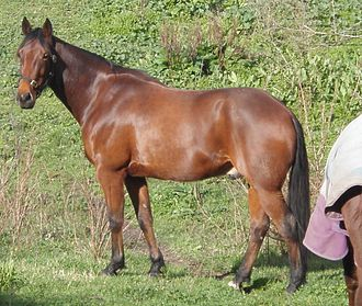 Standardbred -  The Standardbred is heavier in build than the Thoroughbred, but still shows quality and refinement