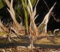 Stanhopea oculata 2017-10-15 7083.jpg