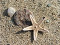 Starfish on the beach at Carradale Bay. - geograph.org.uk - 138968.jpg