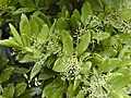 Starr-010419-0012-Pimenta dioica-flower buds-Kula-Maui (24164417189).jpg