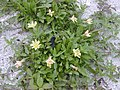 Starr-010520-0019-Oenothera laciniata-habit-Along coast-Kure Atoll (23905898813).jpg