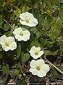 Starr-030530-0047-Ipomoea obscura-flowers-Kahului-Maui (24608780466).jpg
