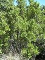 Starr-031108-2089-Conocarpus erectus-habit-Deering Park-Florida (24046820534).jpg