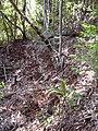 Starr-040912-0045-Cordyline fruticosa-trail building-Makawao Forest Reserve-Maui (24716839475).jpg