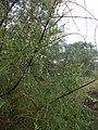 Starr-041228-2478-Tamarix aphylla-rainy weather-Honokanaia-Kahoolawe (24696956136).jpg