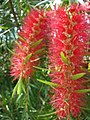 Starr-061109-1484-Callistemon viminalis-flowers-Kokomo Rd Haiku-Maui (24842504576).jpg
