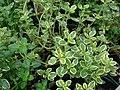Starr-070906-8845-Thymus citriodorus-habit-Kula Ace Hardware and Nursery-Maui (24798748711).jpg