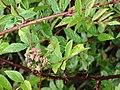 Starr-070908-9327-Rubus niveus-form b leaves and fruit-Polipoli-Maui (24775103532).jpg