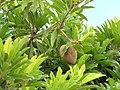 Starr-090713-2600-Manilkara zapota-fruit and leaves-Lahaina-Maui (24851405242).jpg