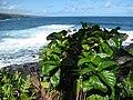 Starr-091104-0725-Morinda citrifolia-habit view ocean-Kahanu Gardens NTBG Kaeleku Hana-Maui (24691977130).jpg