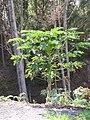 Starr-091108-9371-Carica papaya-in vegetable garden-Olinda-Maui (24693607830).jpg