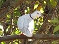 Starr-100113-1210-Psidium guajava-branches with ringneck dove-Waihee-Maui (24980377136).jpg