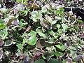 Starr-100623-7778-Callisia repens-potted plants in shade house-Pukalani Plant Company Pulehu-Maui (24411690464).jpg