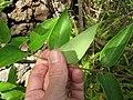 Starr-110307-1955-Lonicera japonica-leaves-Kula Botanical Garden-Maui (24446649114).jpg