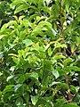 Starr-110330-3639-Persea americana-habit-Garden of Eden Keanae-Maui (24449883984).jpg