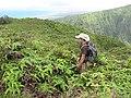 Starr-110722-7658-Polyscias oahuensis-habitat with Jupiter-Waihee Ridge Trail-Maui (24733779919).jpg