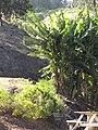 Starr-110731-8123-Musa x paradisiaca-Pome Hawaiian Tall Apple habit-Hawea Pl Olinda-Maui (24471580514).jpg