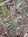Starr-120229-2744-Salvia coccinea-flowering habit-Waikapu Valley-Maui (24840317150).jpg