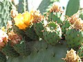 Starr-120430-5380-Opuntia ficus indica-flower and fruit-Kula-Maui (24513851913).jpg