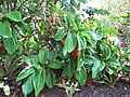 Starr-120522-6023-Medinilla magnifica-form belo habit-Iao Tropical Gardens of Maui-Maui (24774324389).jpg