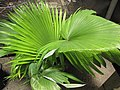Starr-120522-6608-Kerriodoxa elegans-in pot-Iao Tropical Gardens of Maui-Maui (25025749972).jpg