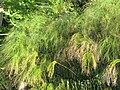 Starr-121108-0873-Cyperus papyrus-habit-Pali o Waipio-Maui (24900978740).jpg