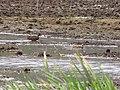 Starr-130322-3854-Zizania latifolia-habitat with koloa ducks-Hanalei NWR-Kauai (24842109069).jpg