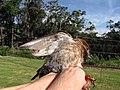 Starr-130602-4671-Cenchrus clandestinus-habitat with juvenile baby House Sparrow in hand-Hawea Pl Olinda-Maui (25093121762).jpg