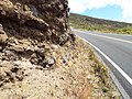 Starr-130723-0294-Unknown dipsacaceae-flowering habit in roadcut-Front Country HNP-Maui (25221499165).jpg