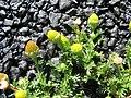 Starr-130801-2779-Matricaria discoidea-flowers-Summit HNP-Maui (24891445739).jpg