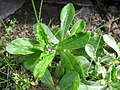 Starr-140318-4270-Gamochaeta pensylvanica-leaves-Holua Hilton HNP-Maui (24614496723).jpg